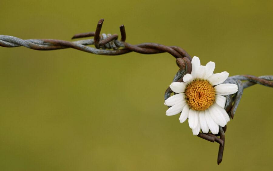 Bellezza. Armonia. Fiore su filo spinato. Speranza. Fede. Pace.